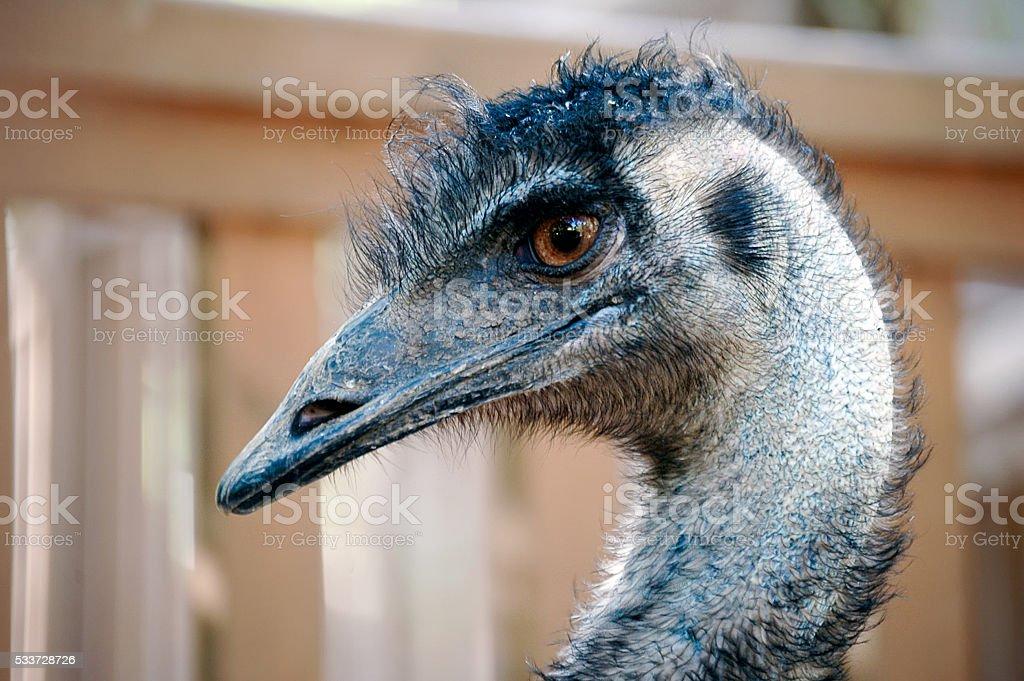 Emu portrait stock photo