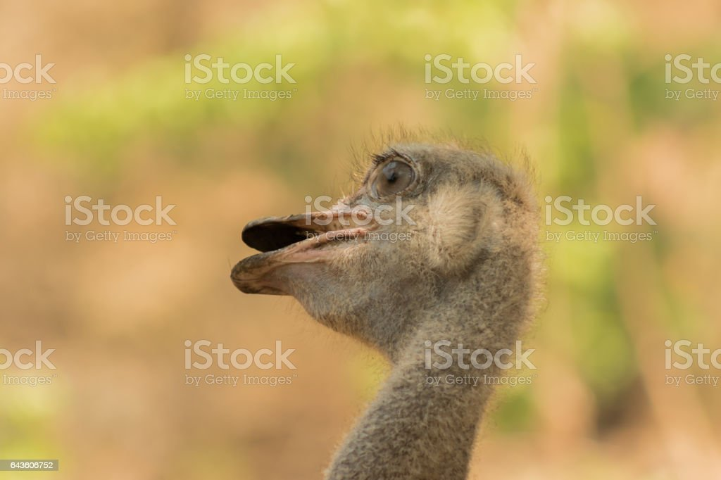 Emu portrait stock photo