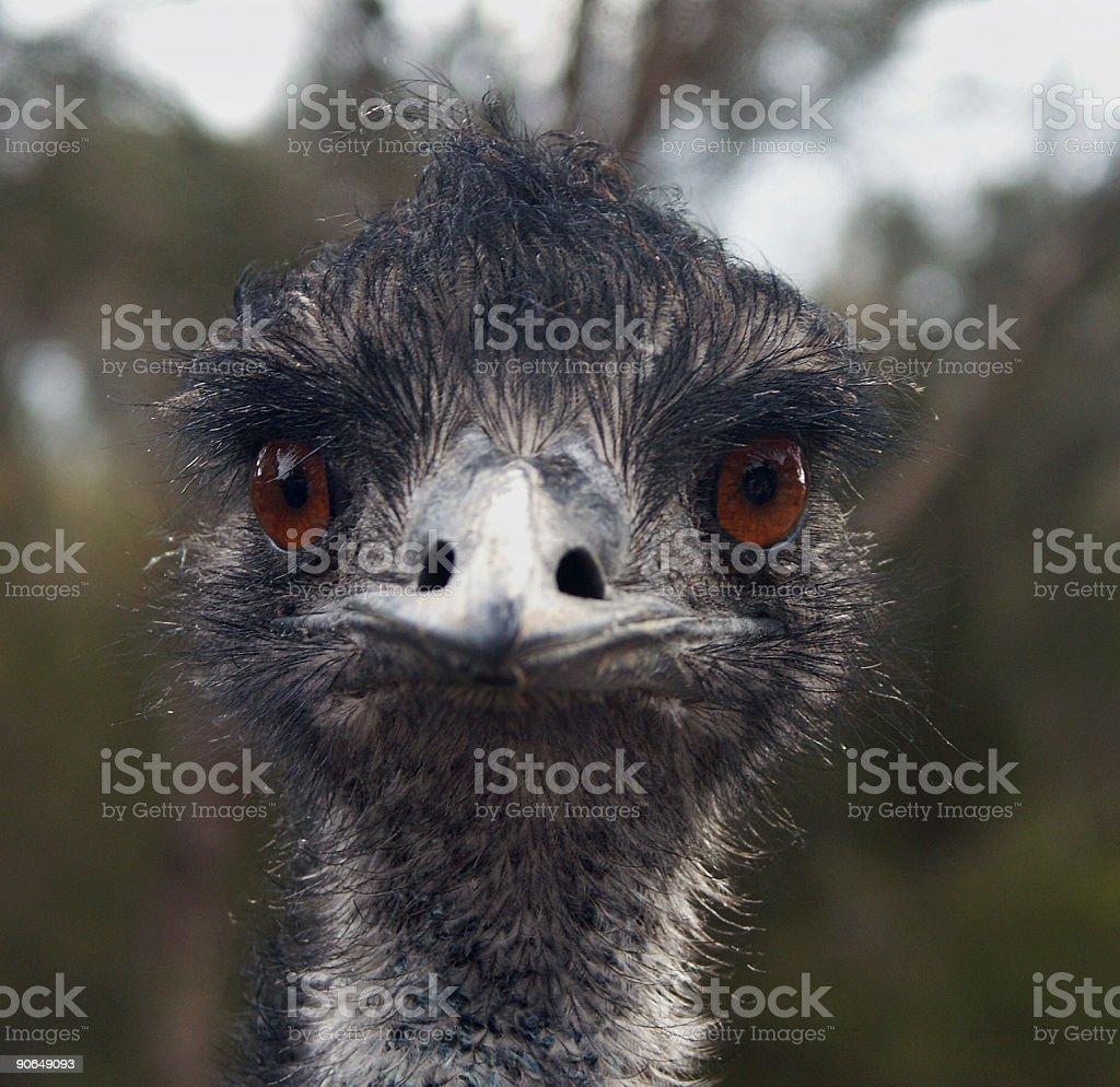 Emu. Portrait. royalty-free stock photo