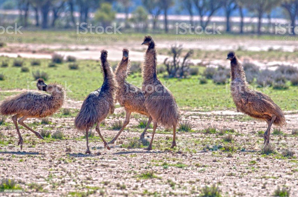 Emus fighting stock photo