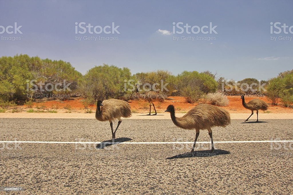 Emus in Western Australian outback stock photo