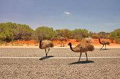 Emus in Western Australian outback