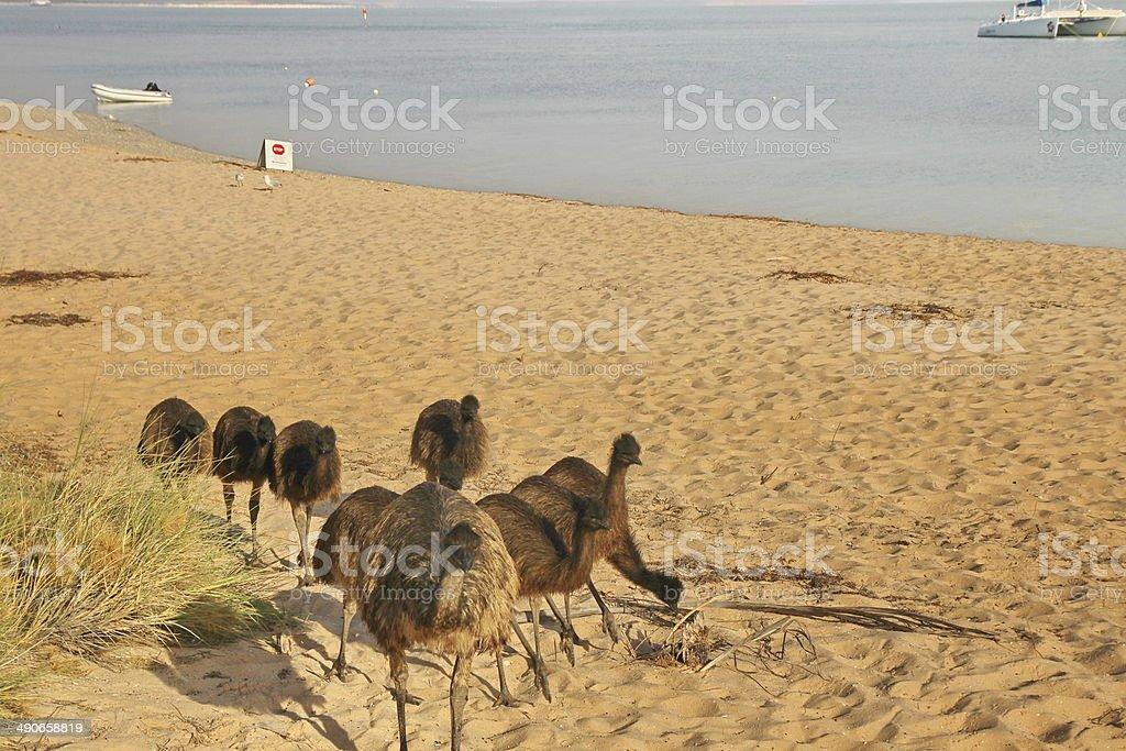 Emus on the beach in Western Australia stock photo