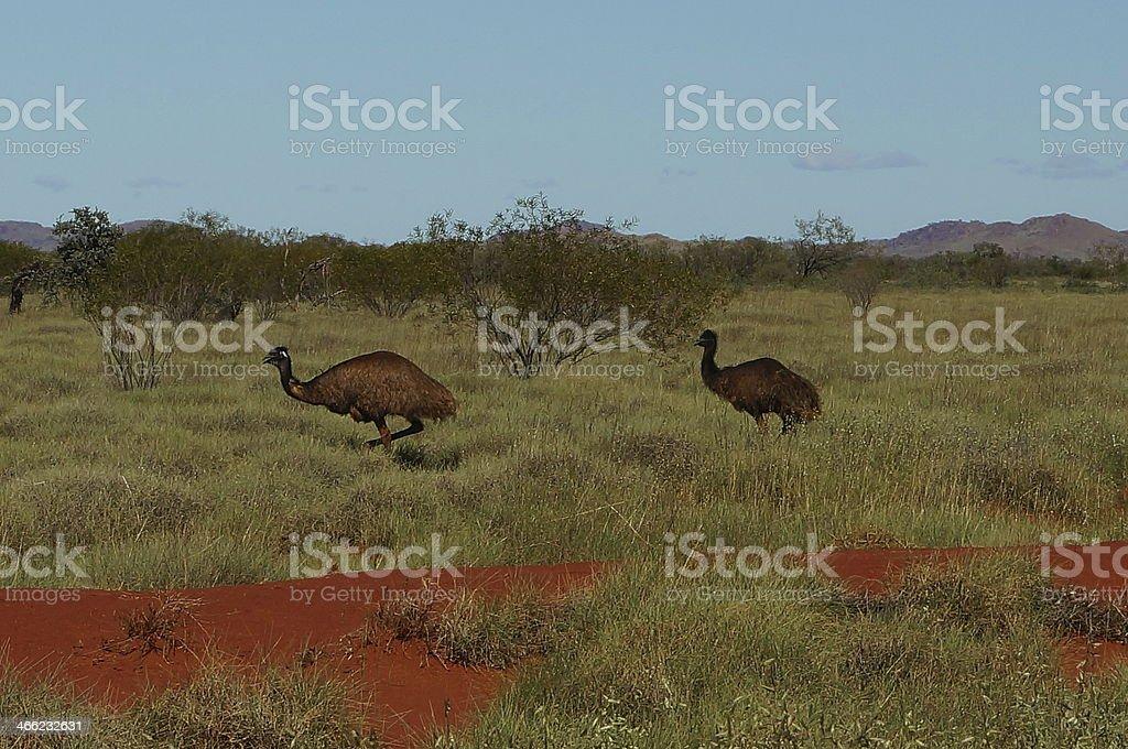 Emus saying hello stock photo