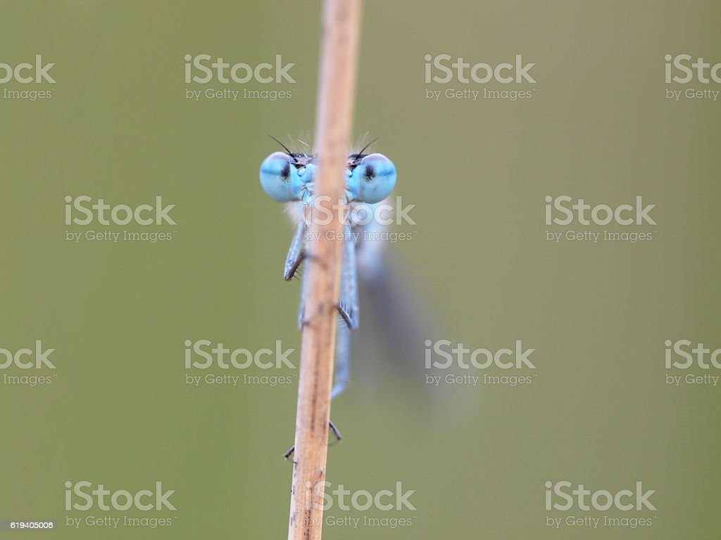 Enallagma cyathigerum common blue damselfly stock photo
