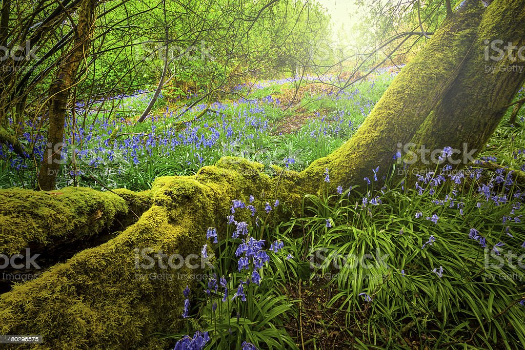 Enchanted Bluebell Woods stock photo