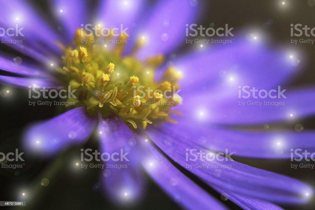enchanted daisy stock photo