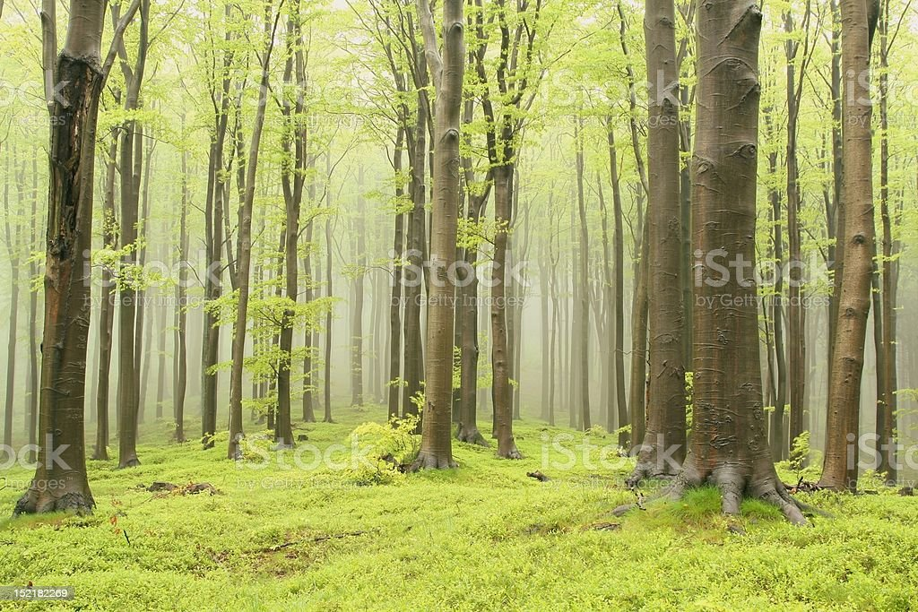 Enchanted Spring forest royalty-free stock photo