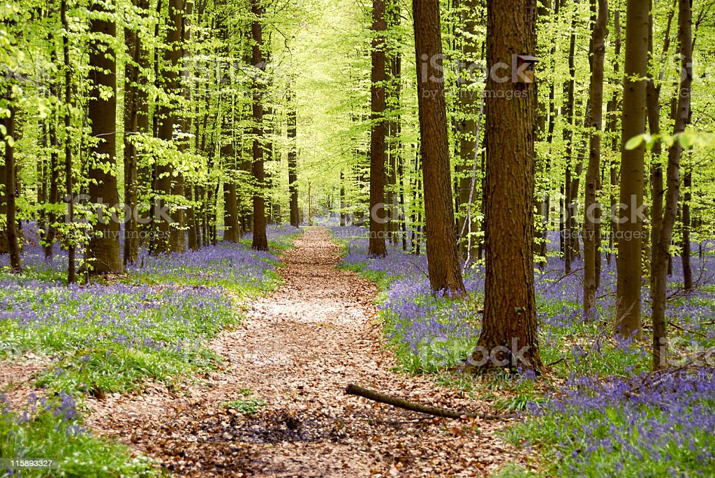 Enchanting beech forest with blooming bluebelles,Hallerbos,Brussels,Belgium royalty-free stock photo