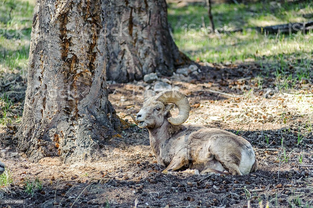 encounter with a mad bighorn sheep stock photo