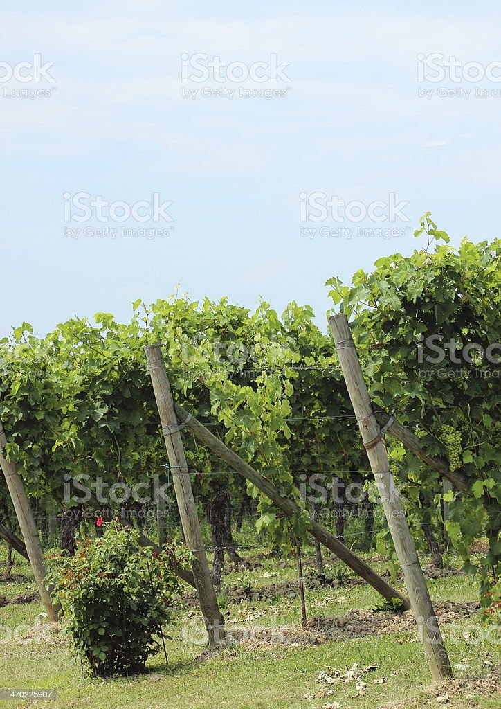 End of rows wine stock at vineyard in Italy royalty-free stock photo