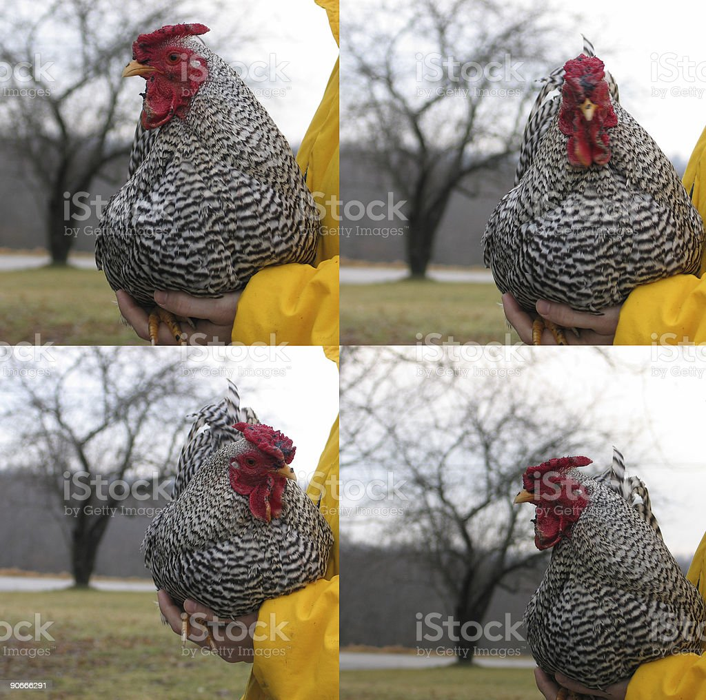 Endangered Farm Animal Portrait: Javier the Rooster stock photo