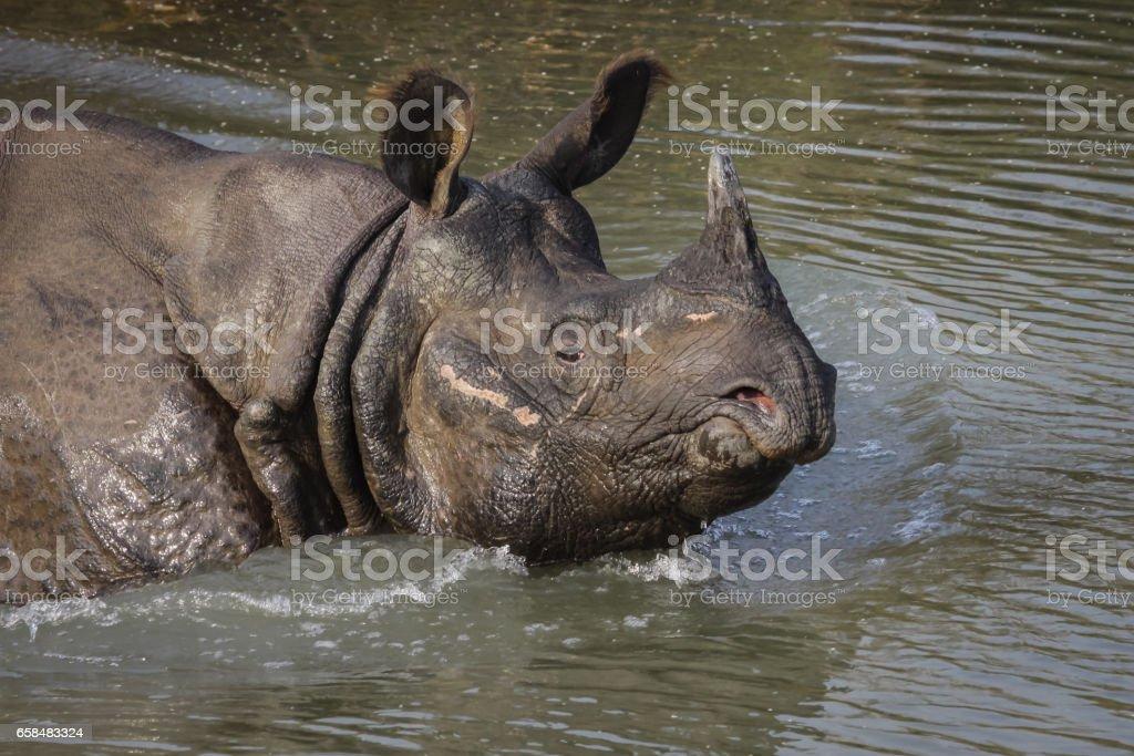 Endangered Indian rhinoceros walking in water, Chitwan National Park stock photo