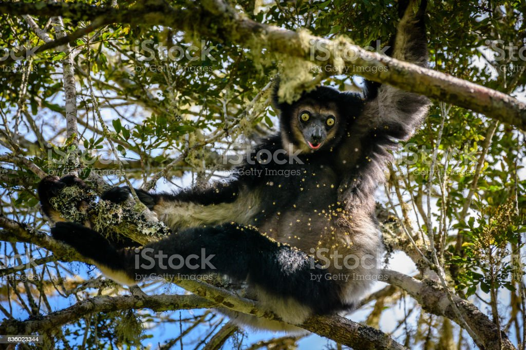 Endangered Indri Lemur hanging in tree canopy  looking anxious for danger, Saha Forest Camp, Madagascar,  Africa stock photo