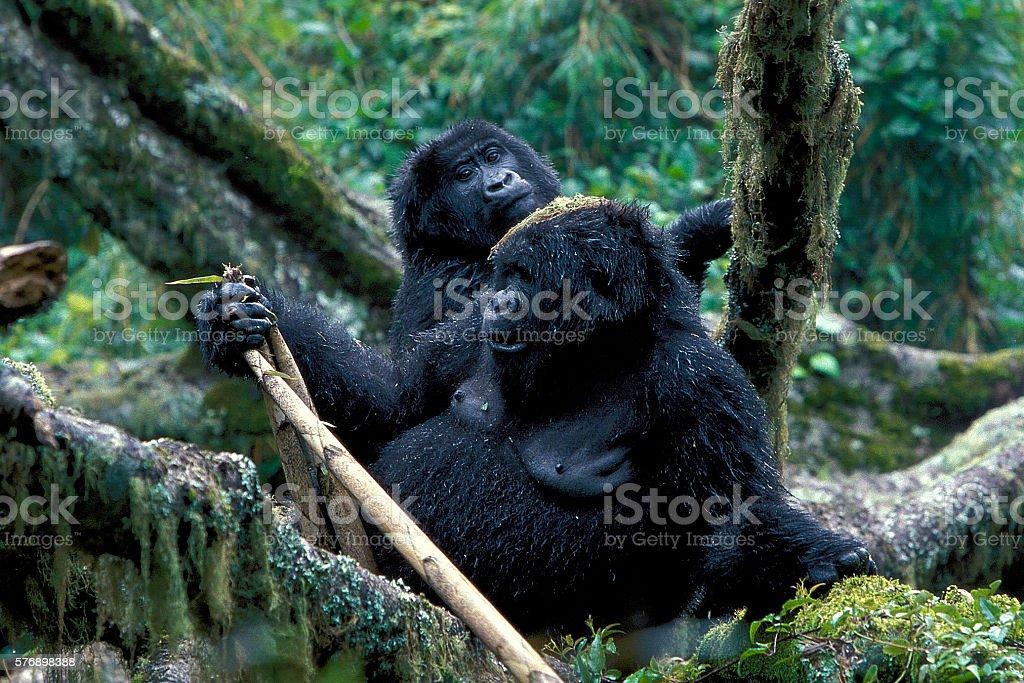 Endangered mountain gorillas in Uganda. stock photo