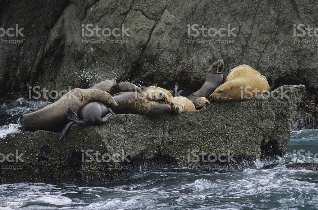 Endangered Stellar Sea Lions stock photo