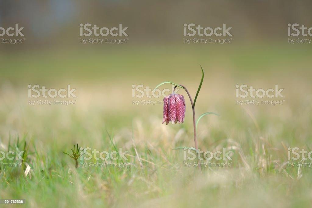 Endangered wild Chess Flower stock photo