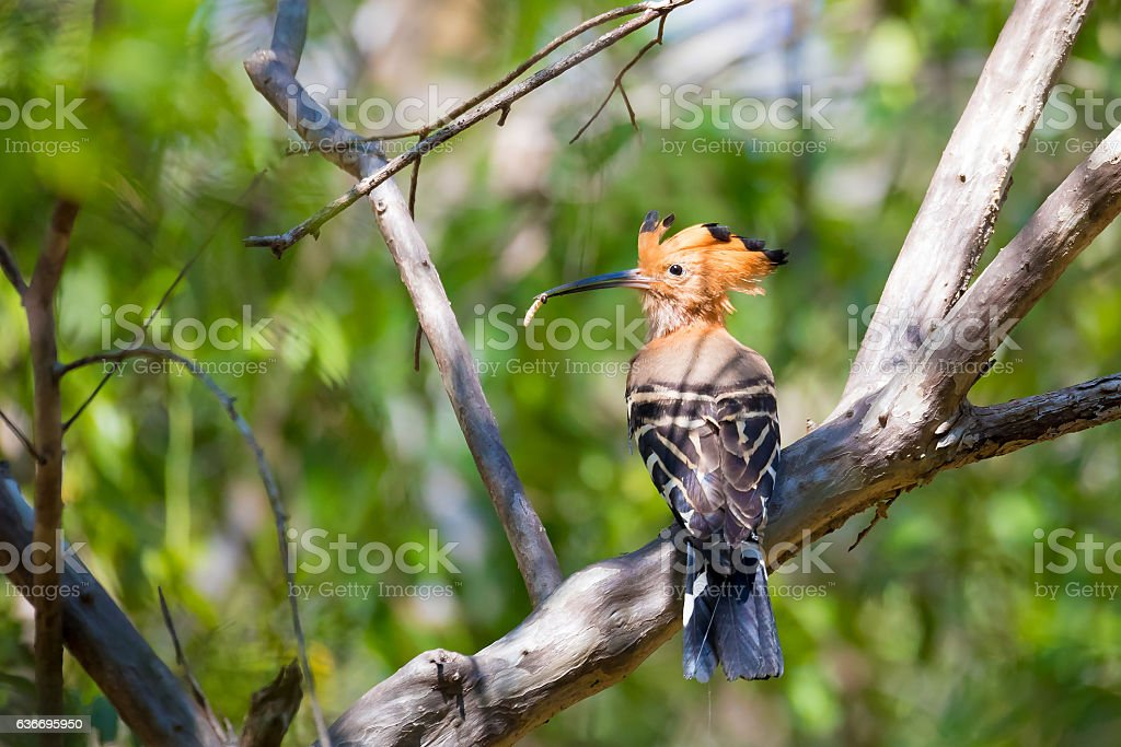 Endemic bird Madagascan hoopoe Madagascar stock photo