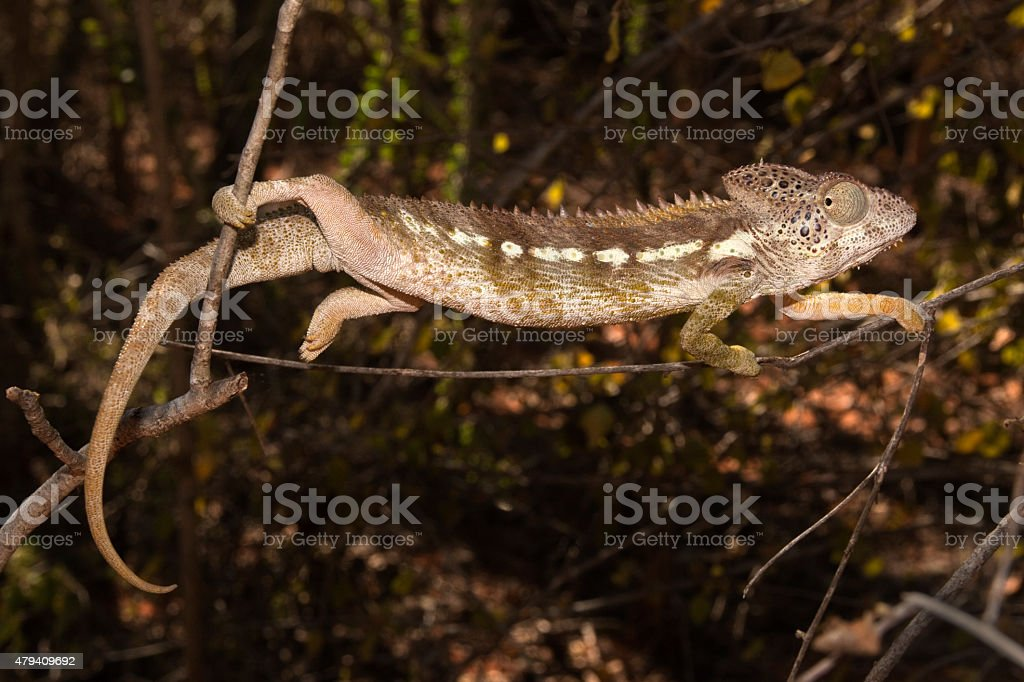 Endemic Malagasy giant chameleon in Madagascar spiny desert stock photo