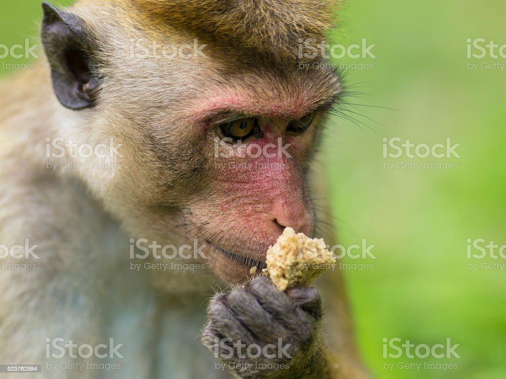 Endemic Monkey to Sri Lanka is having lunch stock photo