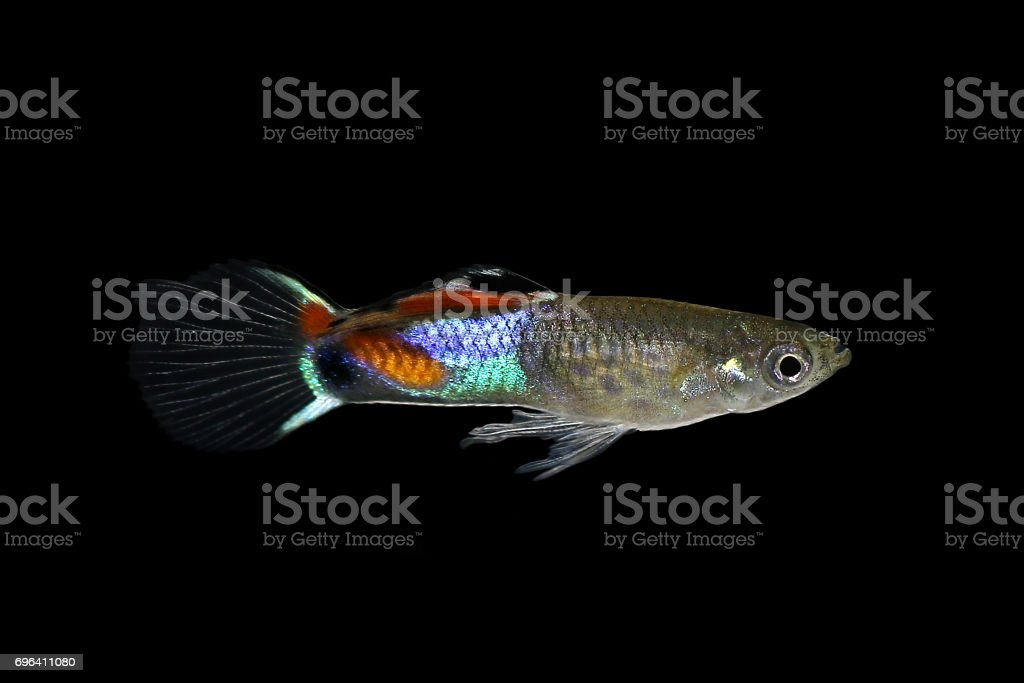 Endler Guppy Poecilia wingei tiny colorful tropical aquarium fish stock photo