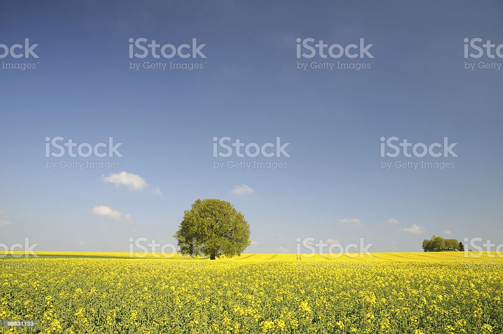 Endless Canola Fields with Single Tree royalty-free stock photo