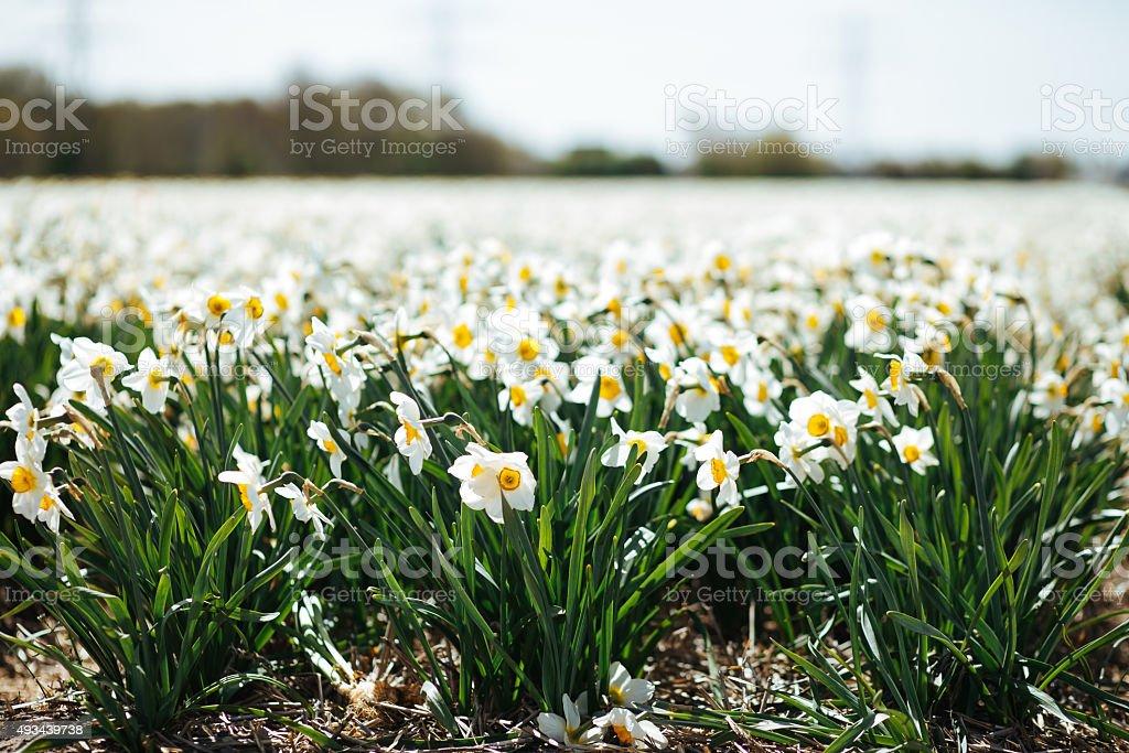 Infindável campo de florescendo Papyraceus foto royalty-free