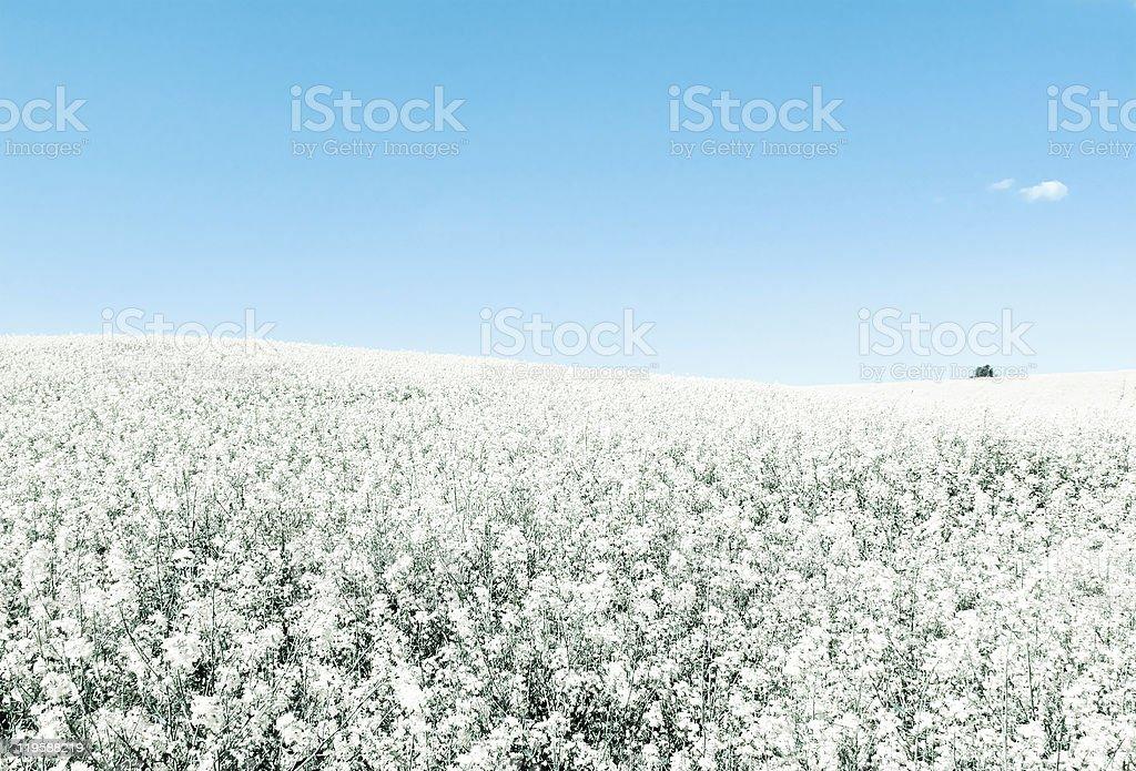 Endlose Felder in kühlen Farben blau und weiß Lizenzfreies stock-foto