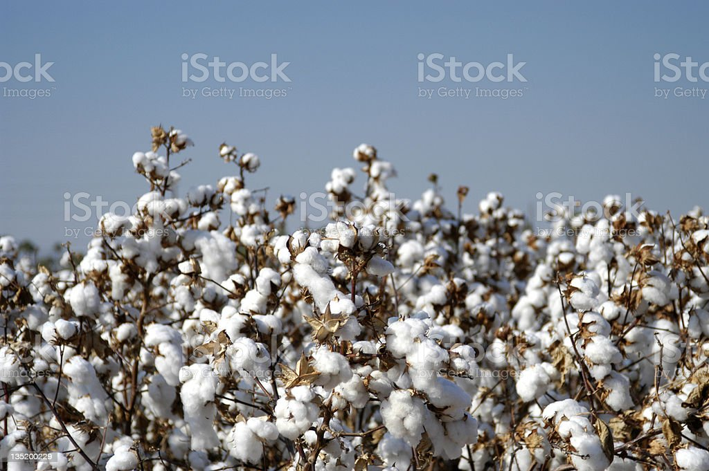 Endless fields of unpicked cotton in bloom during Spring royalty-free stock photo