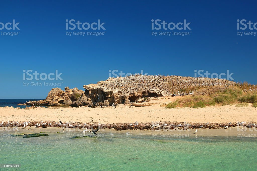 Endless flock of seabirds and sea lions, Western Australia stock photo