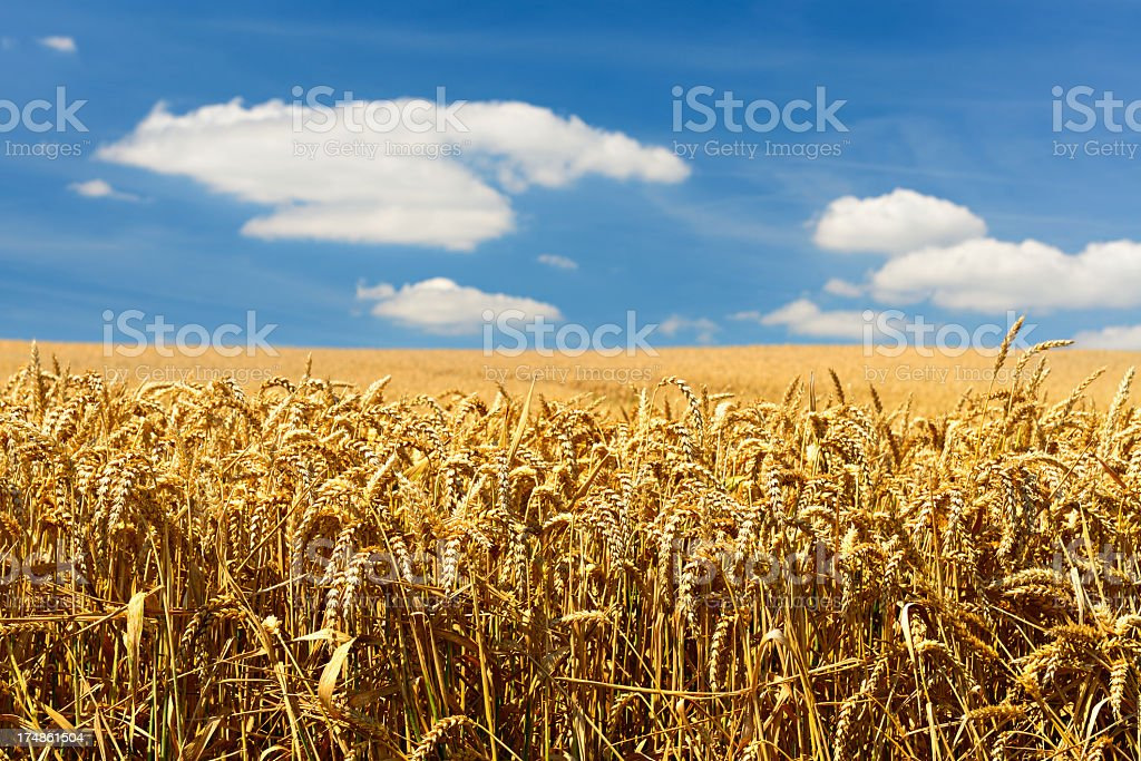 Endless Ripe Wheat Field in Summer Landscape under Blue Sky royalty-free stock photo