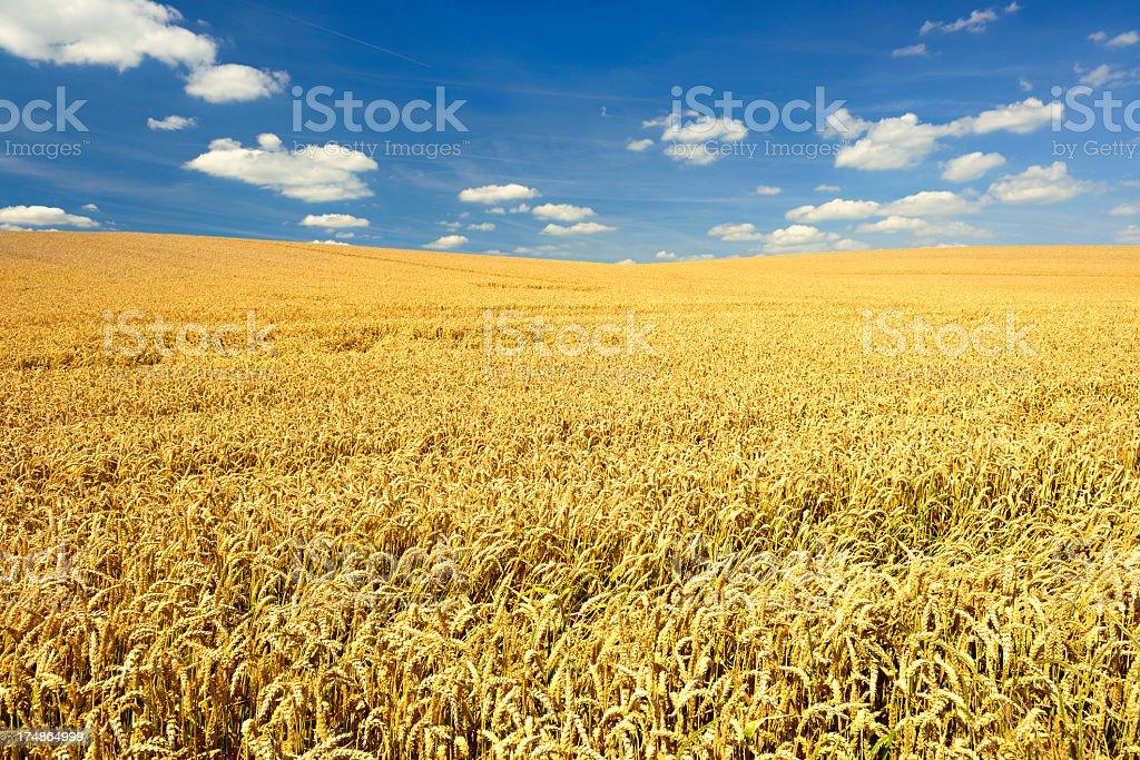 Endless Ripe Wheat Field in Summer Landscape under Blue Sky royalty-free stock photo
