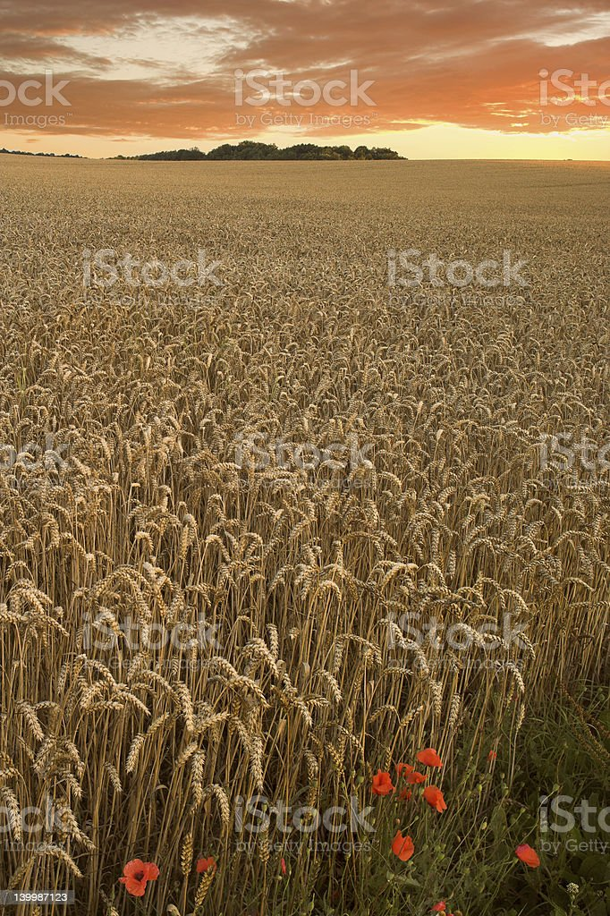 Endless wheat field before the harvest at sunset royalty-free stock photo