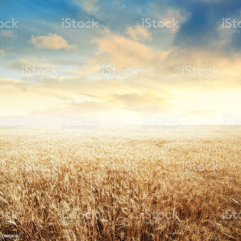 Endless Wheat Field over Sunset Sky stock photo
