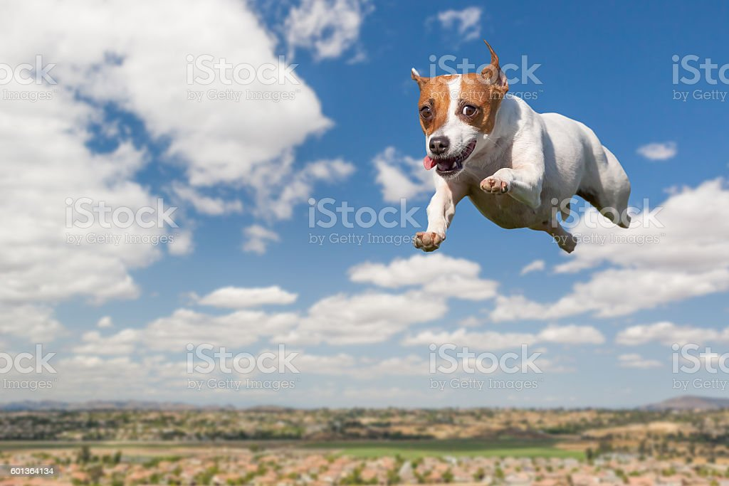 Energetic Jack Russell Terrier Dog Flying In The Sky stock photo