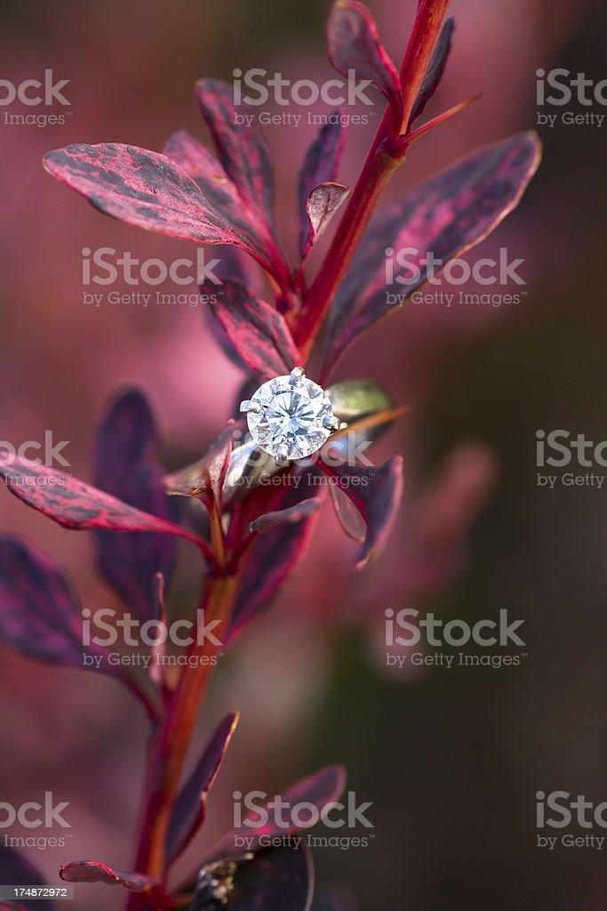 Engagment ring on Rose Glow Japanese Barberry stock photo