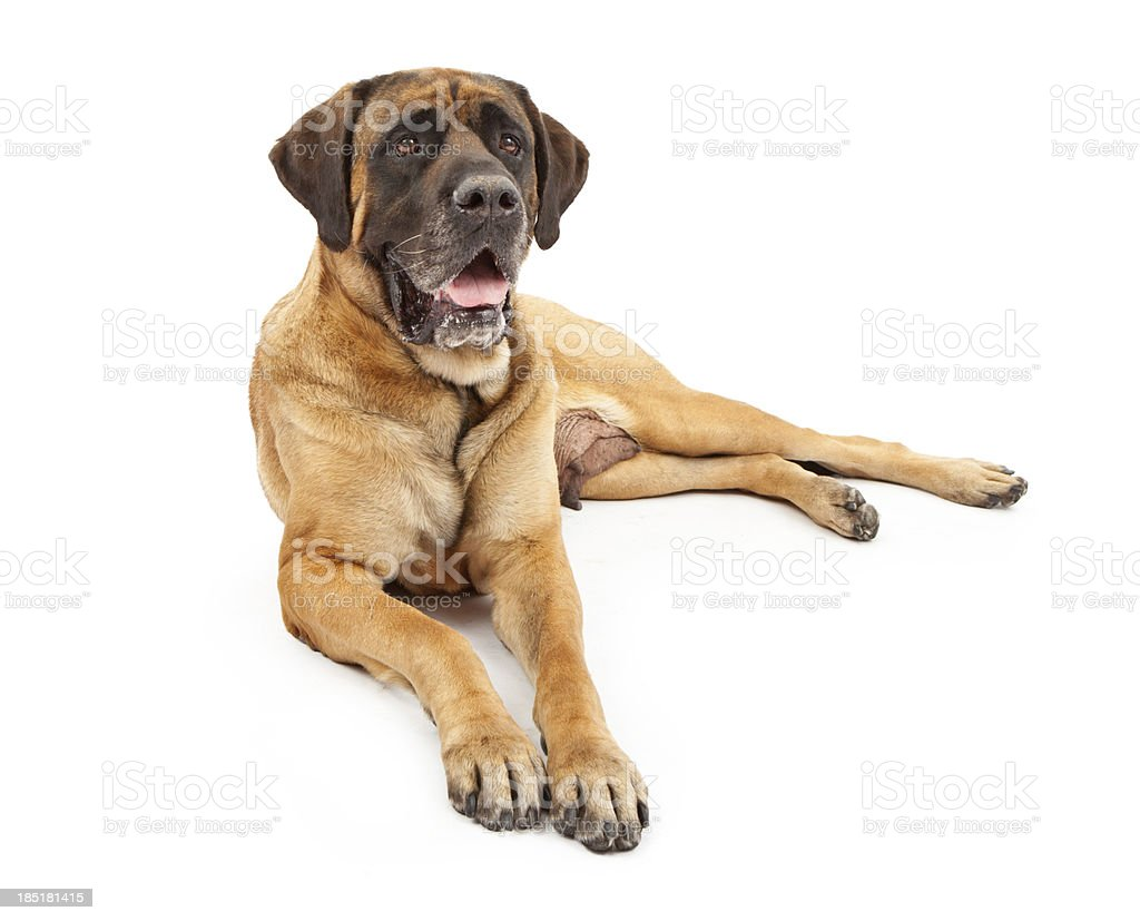 Engish Mastiff Dog stock photo