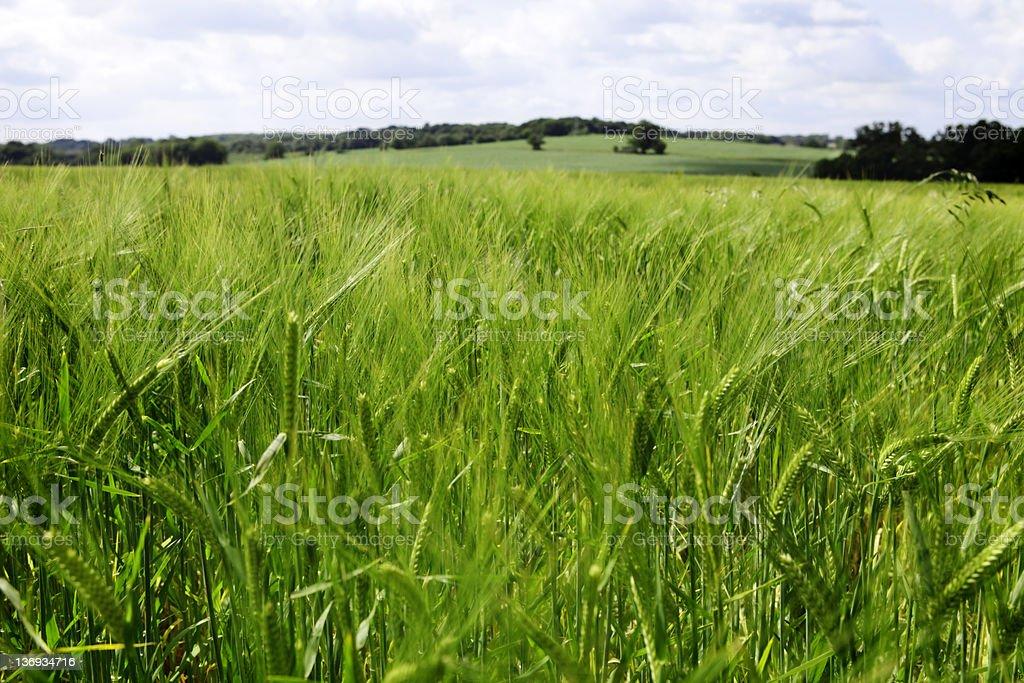 English Barley Fields stock photo