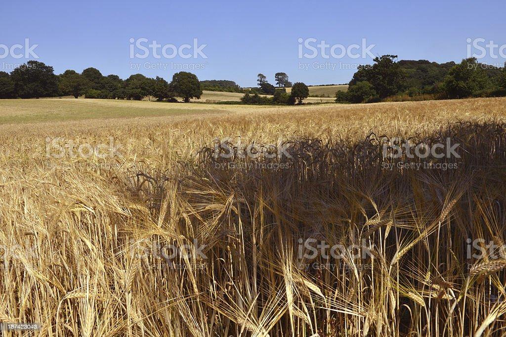 English Barley stock photo
