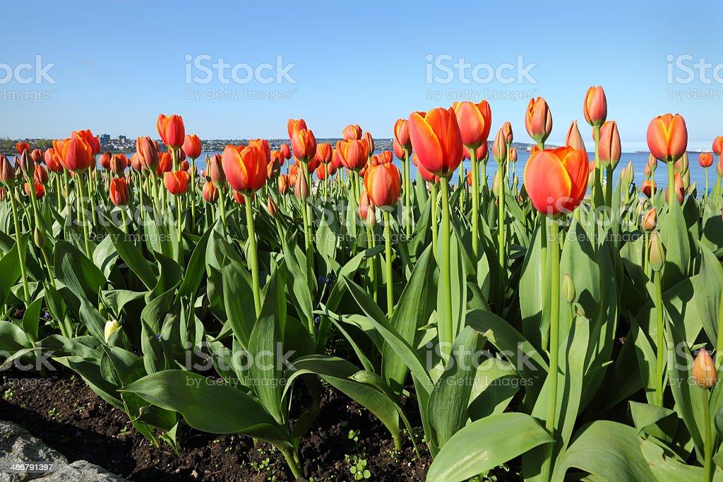 English Bay Tulips, Vancouver royalty-free stock photo