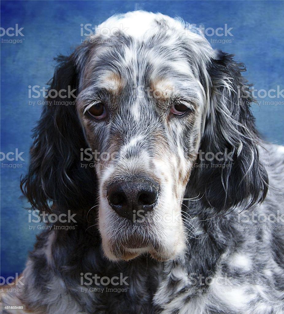 English Blue Setter Dog stock photo