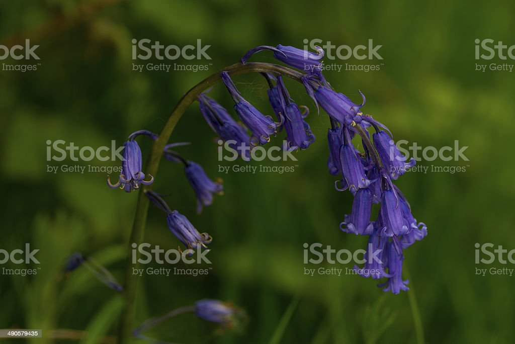 English bluebell stem royalty-free stock photo