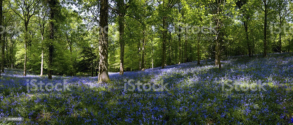 English Bluebell Wood royalty-free stock photo