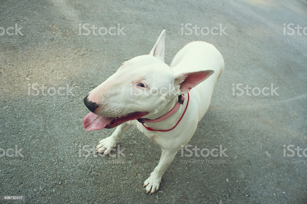 English bull Terrier stock photo