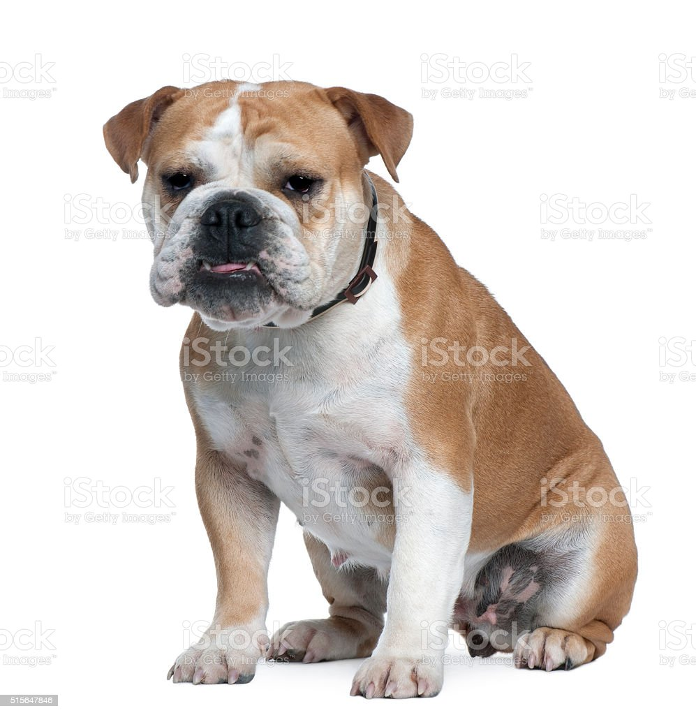 English Bulldog, 18 months old, sitting stock photo