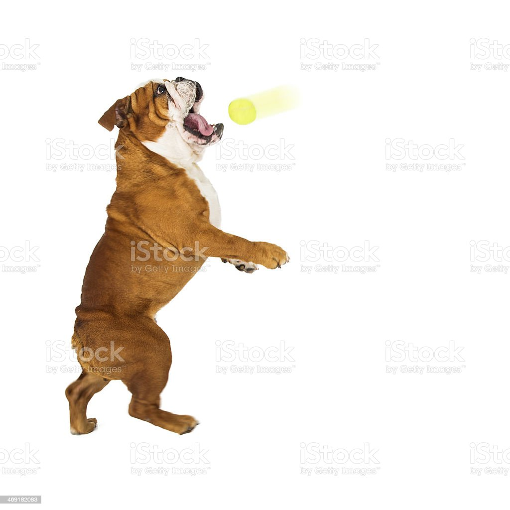 English Bulldog Catching Ball stock photo
