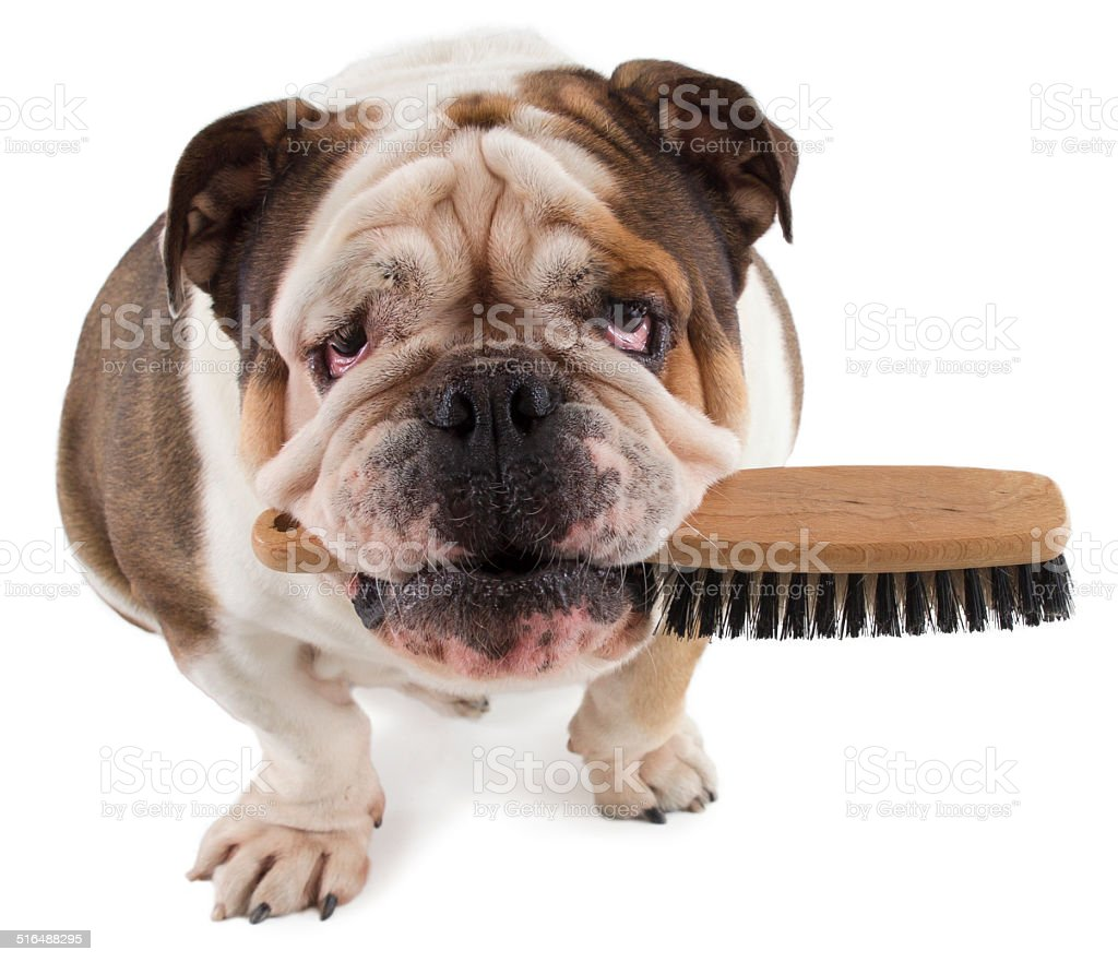 English bulldog dog sit with a brush in his mouth stock photo