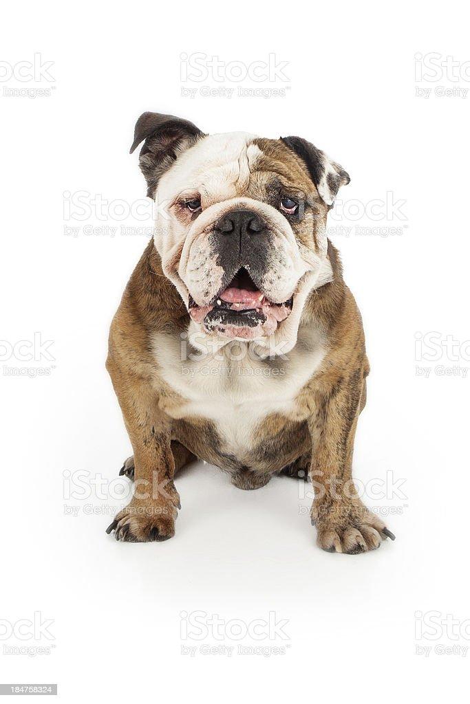 English Bulldog Happy Face royalty-free stock photo