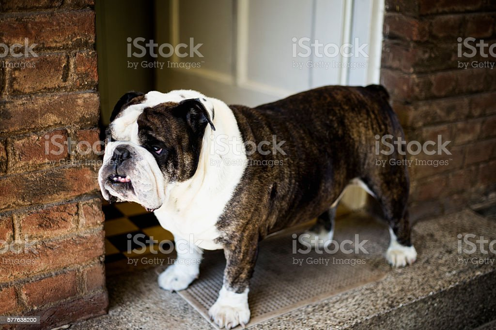 English bulldog in a protective stance stock photo