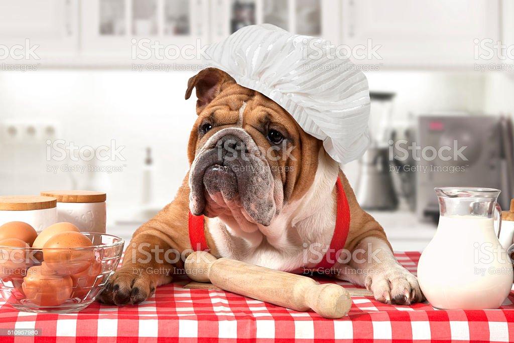 English Bulldog in chef's hat stock photo